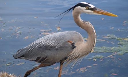 blue-heron-standing-on-lake-edge-fishing